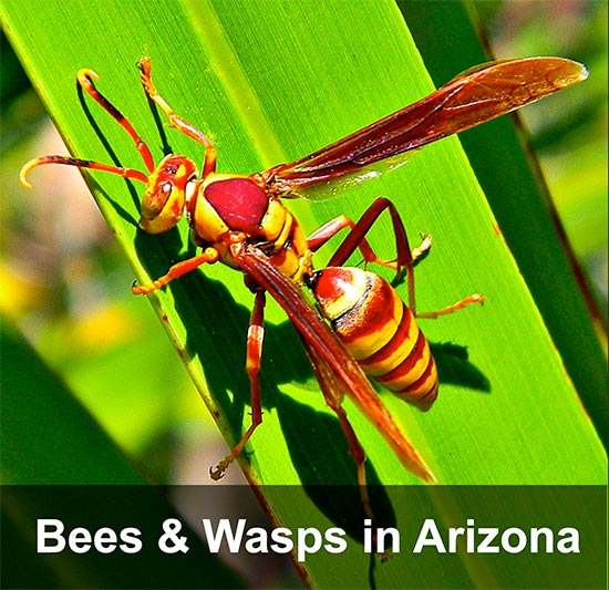 bees-wasps-arizona