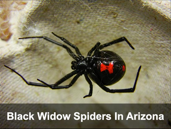 black-widow-spider-arizona